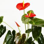 Anthurrium Plant